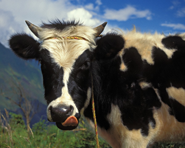 Original caption: A dairy cow in the Andes Mountains, outside the city of Banos, Ecuador, South America. --- Image by © Steven Kazlowski/Science Faction/Corbis